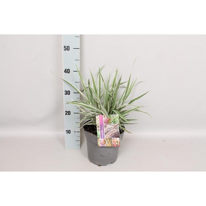 <h4>vaste planten 19 cm  Arundo Ely</h4>