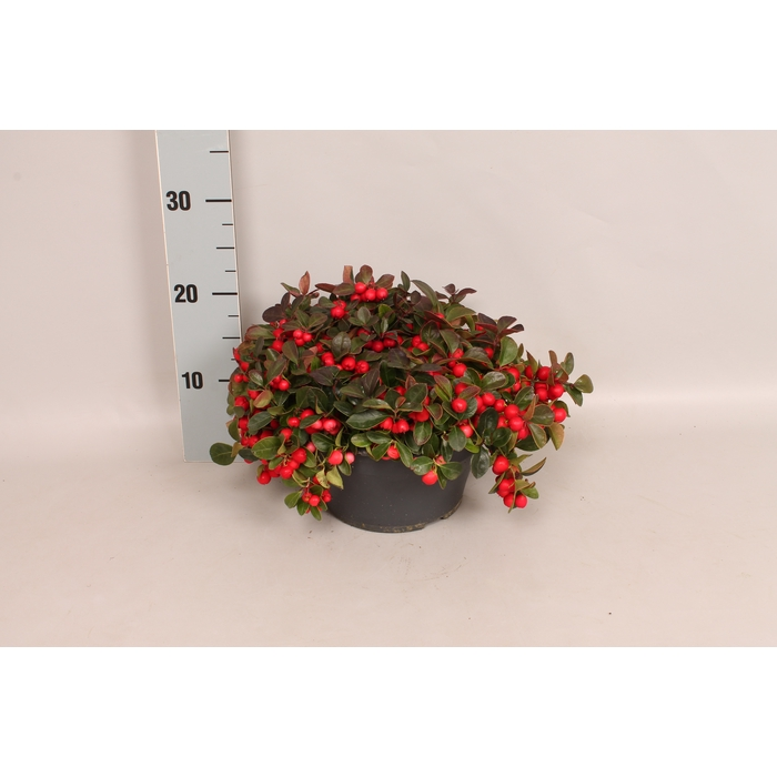 <h4>Gaultheria procumbens 'Winterpearls Red Baron' Schaal</h4>