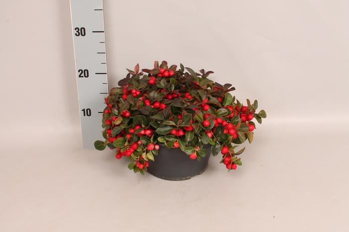 <h4>Gaultheria procumbens 'Winterpearls Red Baron' Schaal</h4>