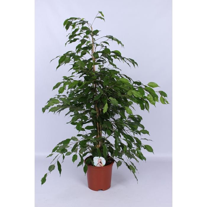 <h4>Benjamina Exotica Piramide (air so pure)</h4>