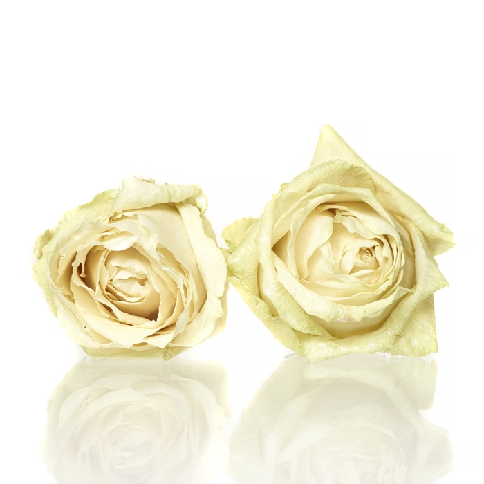 <h4>Rose Avalanche cream 4,5-5cm</h4>