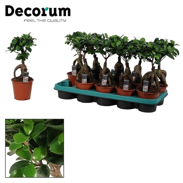 <h4>Ficus Microcarpa Ginseng geënt 12 cm  (Decorum)</h4>