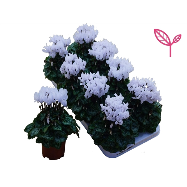 <h4>Cyclamen-COMPACT WIT</h4>