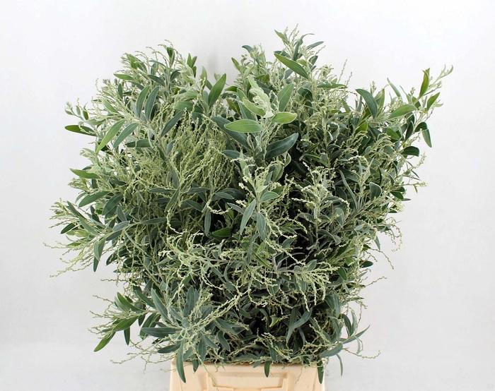 <h4>Acacia hamburyana   .../bos</h4>