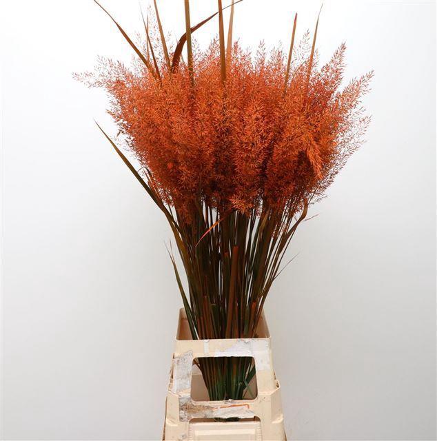 <h4>Calamagrostis Brachy Roest</h4>