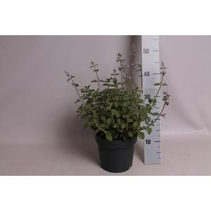 vaste planten 19 cm  Nepeta faassenii Grol