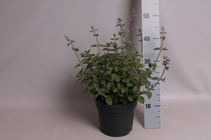 <h4>vaste planten 19 cm  Nepeta faassenii Grol</h4>