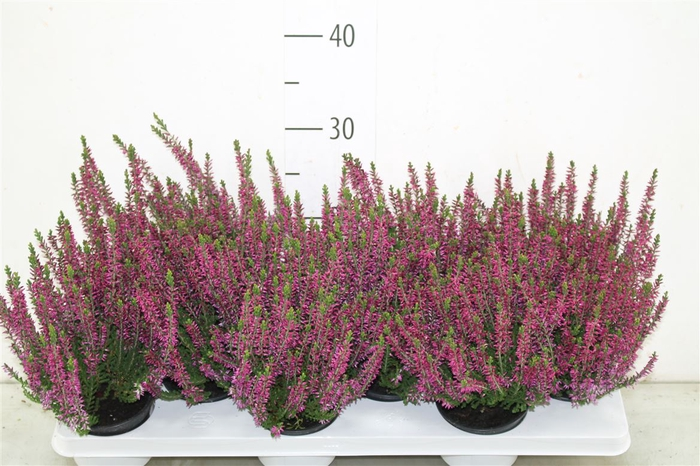 <h4>Calluna Beauty Lady Lila</h4>