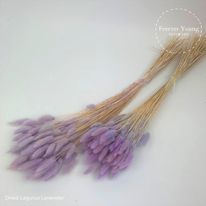 <h4>Dried Lagurus Lavender x30</h4>