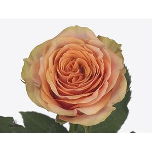 Rosa Gr. Lamu@