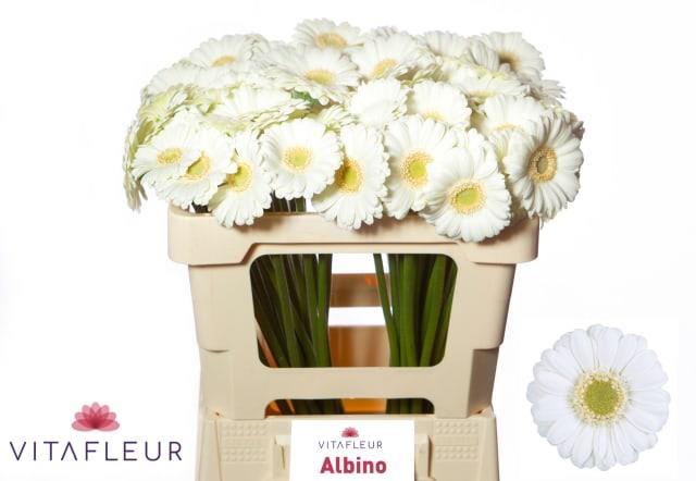 <h4>GE MI ALBINO</h4>