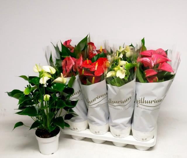 <h4>Anthurium mix 14Ø 50cm 7Flow</h4>