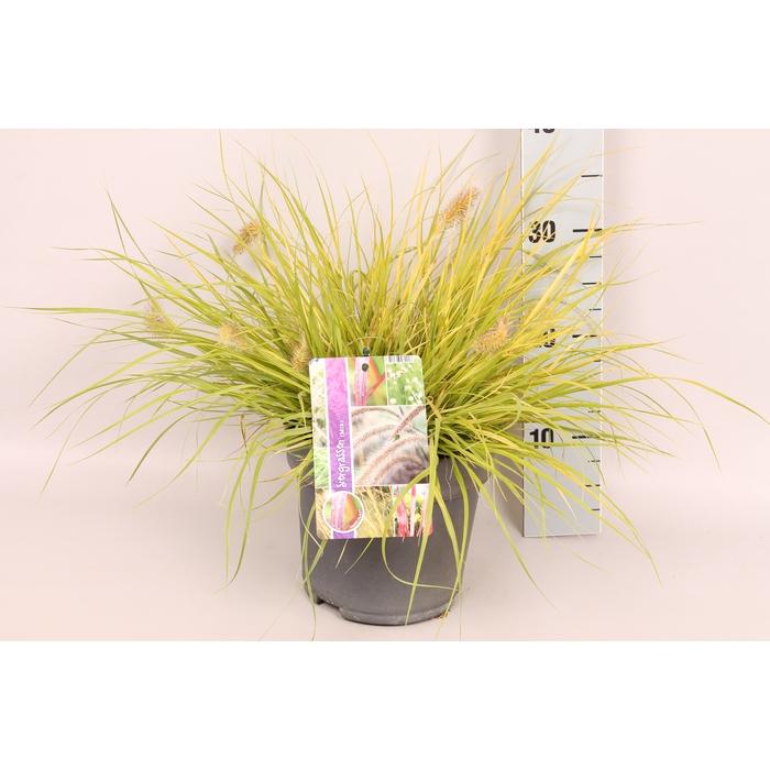 <h4>vaste planten 19 cm  Pennisetum J.S. Jommenik</h4>