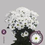 <h4>Chrysanthemum spray Kennedy</h4>