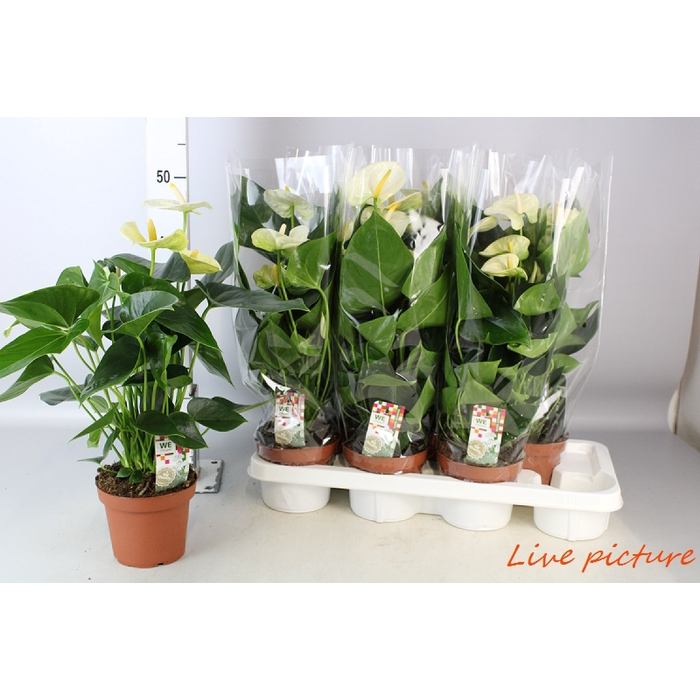 <h4>Anthurium Andr. Sharade White</h4>