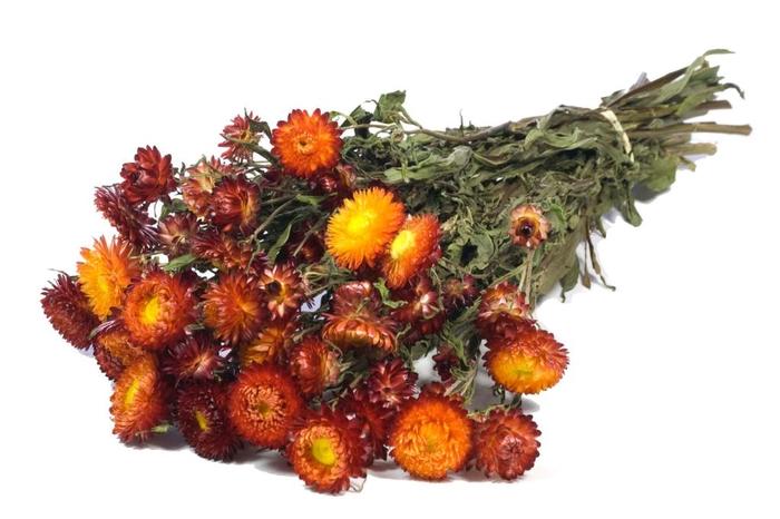 Helichrysum red nat. Craft