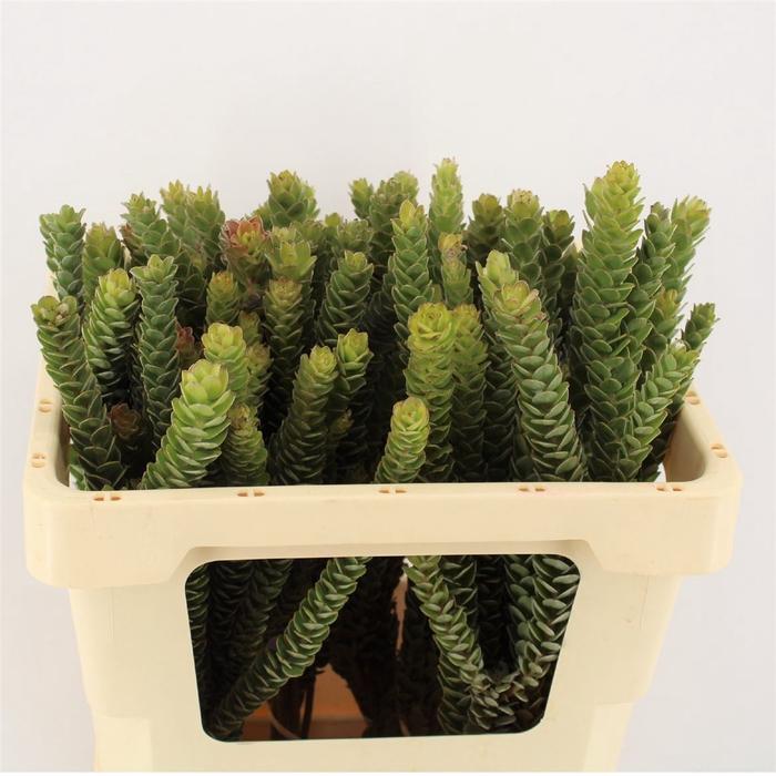 <h4>Leuco Buxifolium</h4>