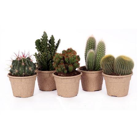 <h4>Cactus Eco Kraft 8,5 Cm</h4>