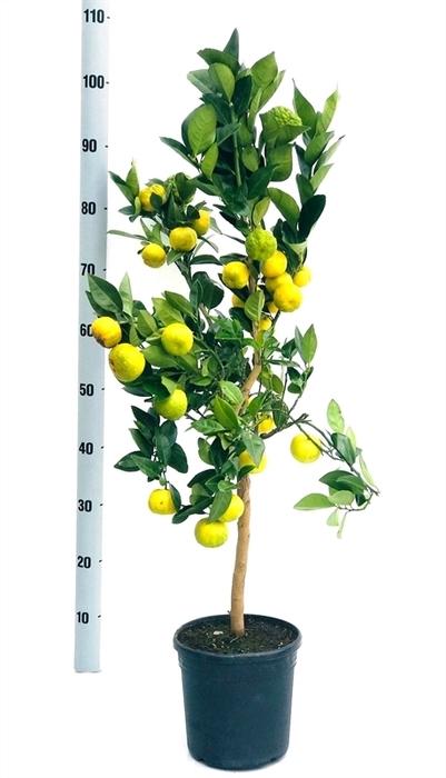 <h4>Citrus limetta 'Pursha'</h4>