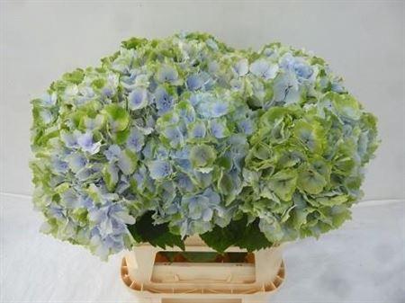 <h4>Hydr M Verena Bleu Classic</h4>