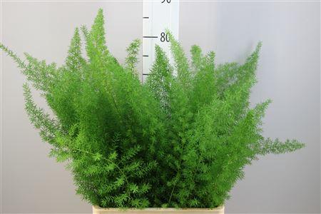 <h4>Asparagus Meyeri 65</h4>