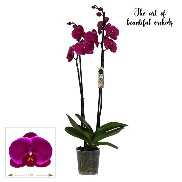 <h4>Phalaenopsis Joyride</h4>
