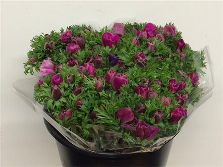 <h4>Anemone cor. 'Jerusalem Purple'</h4>