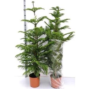 Araucaria Heterophylla 24Ø 140cm 3pp