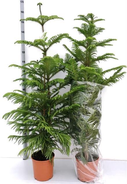 <h4>Araucaria Heterophylla 24Ø 150cm 3pp</h4>