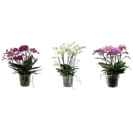 <h4>A2 Flora P15 Mix</h4>