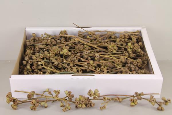 <h4>Df Conical Gum Branch Nat(50p)</h4>