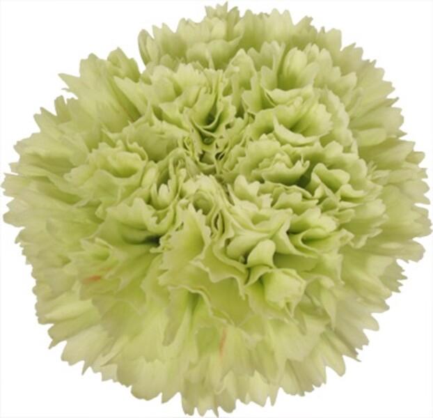 <h4>Dianthus st. Goblin</h4>