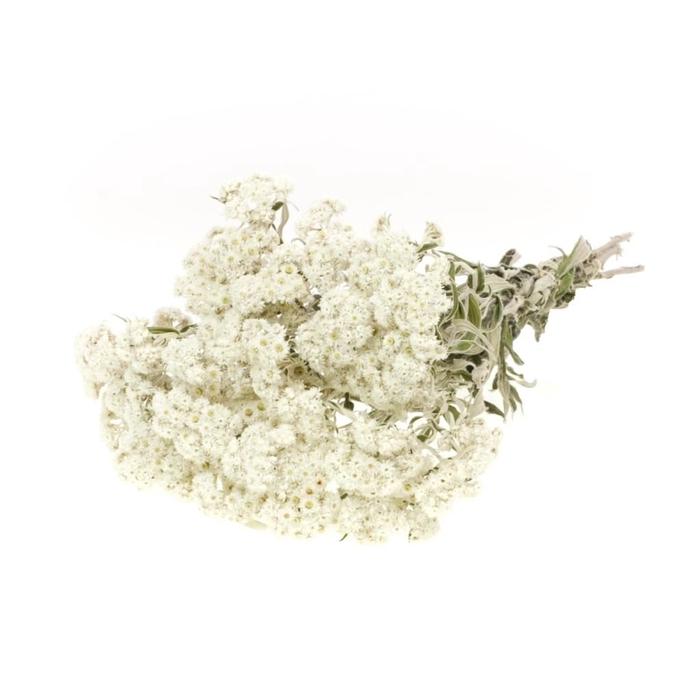 <h4>Anaphalis natural white</h4>