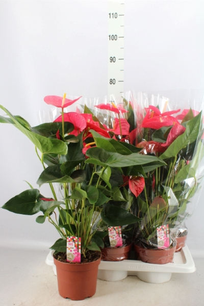 <h4>Anthurium andr. 'Maine'</h4>