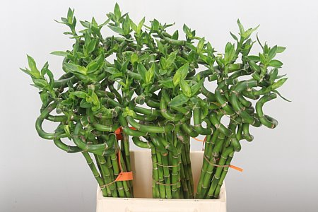 <h4>Drac S Lucky Bamboo Curl</h4>