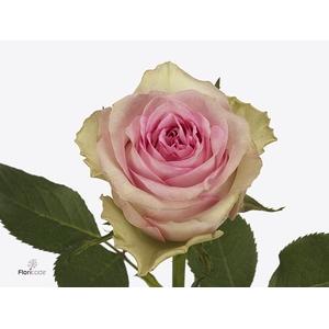 Rosa large flowered Brigitte Bardot
