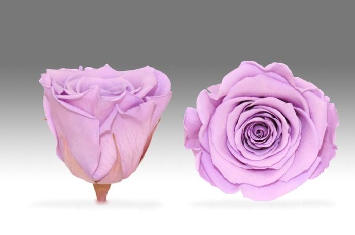 <h4>Rose stab. XL Vio-03</h4>