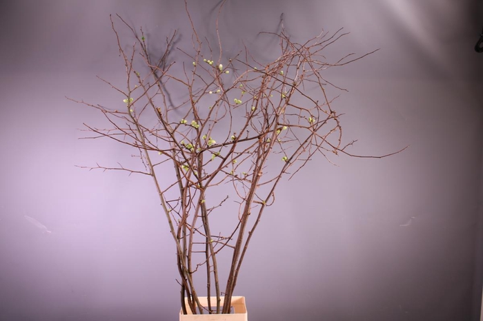 <h4>Chaenomeles japonica Alba</h4>