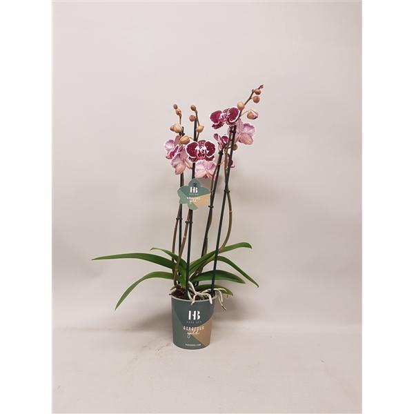 <h4>Phalaenopsis Asian Pearl 4 tak Gorgeous Gold</h4>