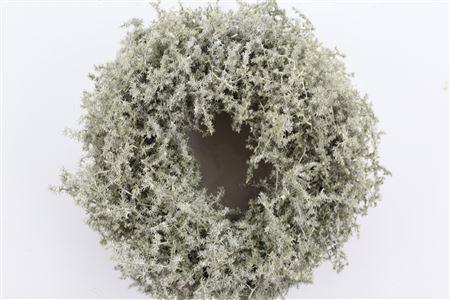 <h4>Wr Asparagus Wax Green Olive 35cm</h4>