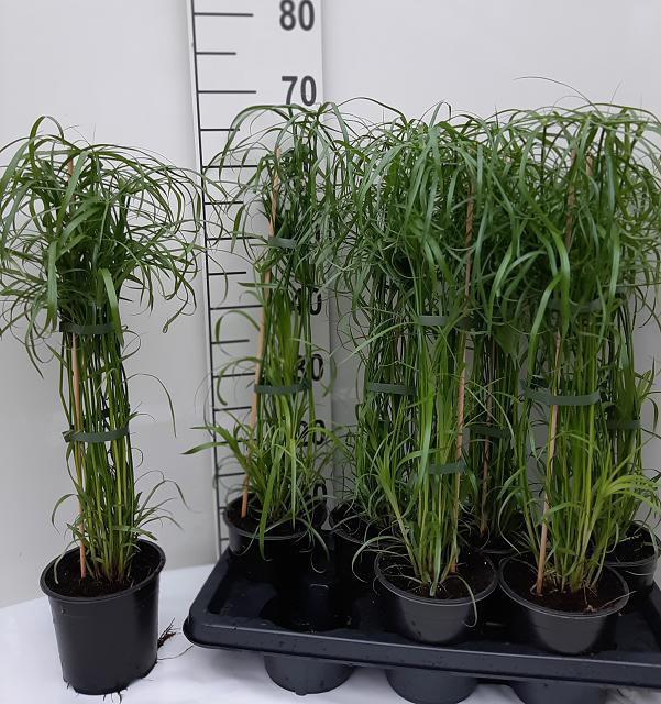 <h4>Cyperus alternifolius 14Ø 70cm</h4>