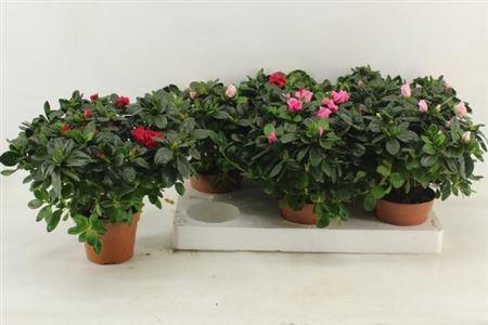 <h4>Rhododendron Si Vogel Gem</h4>