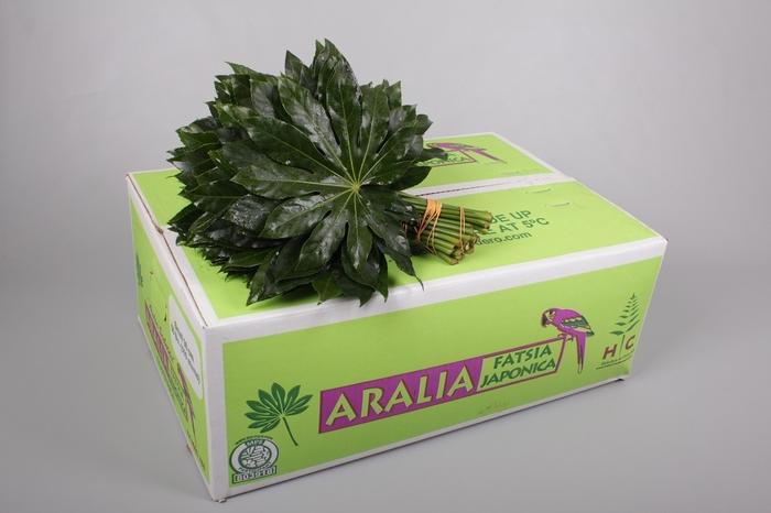 <h4>Aralia</h4>