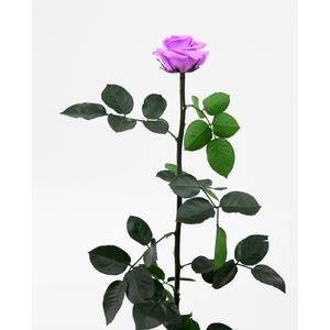 Roos op steel standard Bright lilac