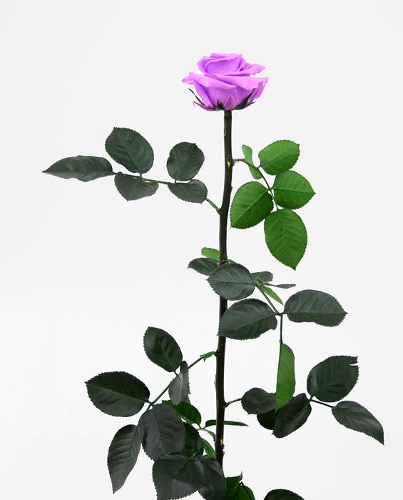 <h4>Roos op steel standard Bright lilac</h4>