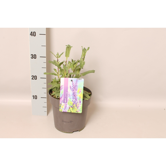 <h4>vaste planten 19 cm  Salvia nem Caradonna</h4>
