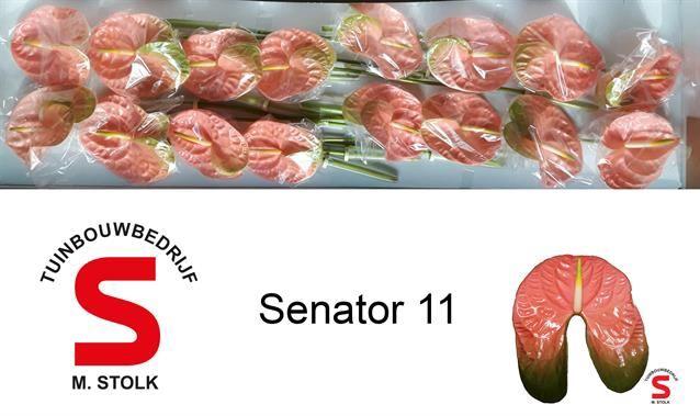<h4>Anth Senator</h4>