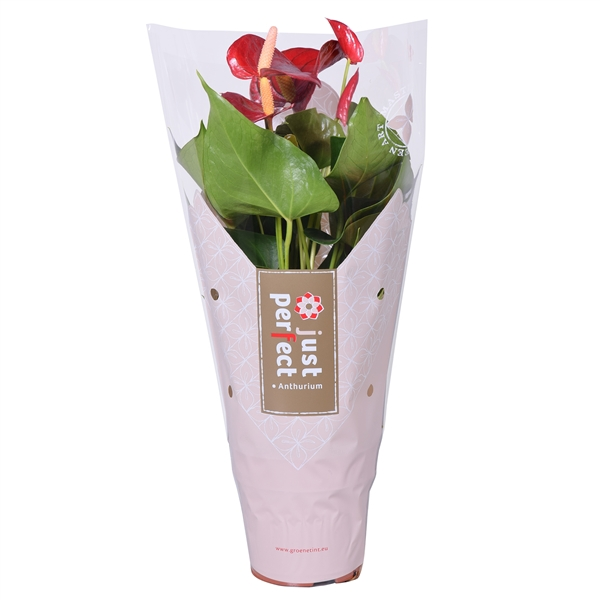 <h4>Anthurium Piccolo</h4>