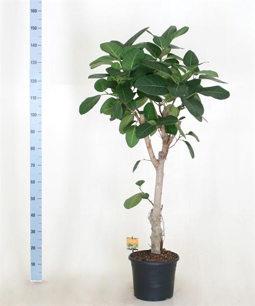 <h4>Ficus benghalensis</h4>