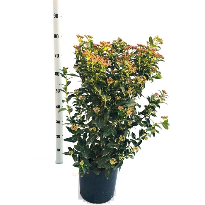 <h4>Viburnum tinus struik</h4>